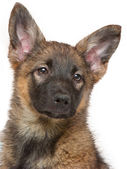 Brown puppy sitting on white background — Stock Photo