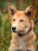Bellissimo ritratto all'aperto di un giovane cane rosso — Foto Stock