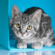 Tabby grey cat in blue cube — Stock Photo #37671545