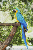Macaw parrot in nature — Stock Photo