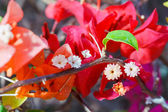 Bougainvillea on nature background — Stock Photo