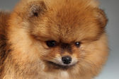 Cachorro pomerania — Foto de Stock