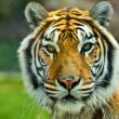 The Big Bengal Tiger head — Stock Photo