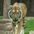 The Big Bengal Tiger moving forward — Stock Photo