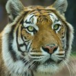 The Big Bengal Tiger portrait — Stock Photo