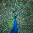 Male Indian Peafowl head and tail — Stock Photo