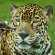 Panthera onca — Stock Photo