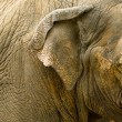Close up of elephants head — Stock Photo #31849443