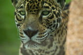 Close up eyes jaguar — Stock Photo