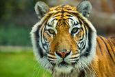 The Big Bengal Tiger head — Stock Photo