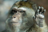 Barbary Macaque hand — Stock Photo