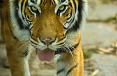 Bengal tiger with open mouth — Stock Photo
