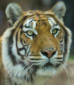 The Big Bengal Tiger portrait — Stock Photo