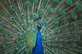 Male Indian Peafowl head and tail — Стоковое фото