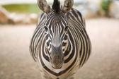 Zebra front — Stock Photo