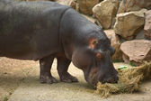 Hippo Grazes In The Zoo — Stock Photo