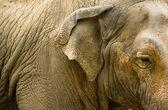 Detail hlavy slonů — Stock fotografie