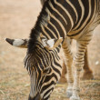 Zebra grazing — Stockfoto