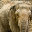 Asian elephant portrait — Stock Photo