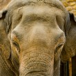 Asia elephant head close up — Stock Photo