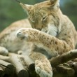 Eurasian lynx licking itself — Stock Photo