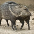 Collared peccary rub against each other — Stock Photo #31858519