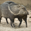 Collared peccary rub against each other — Stock Photo
