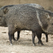 Two Collared peccary  — Stock Photo