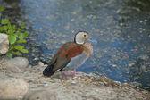 Le phoque annelé canard sarcelle — Photo