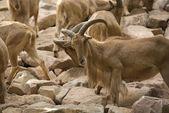 Un gregge di pecore barbary — Foto Stock