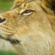 Female lion close up — Stock Photo