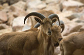 Barbary sheep specimen — Stock Photo