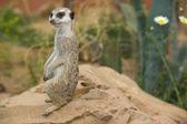 Alert meerkat on rock — Stock Photo