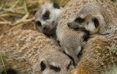 Family Meerkats playing — Stock Photo