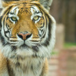 The Big Bengal Tiger staring — Stock Photo