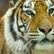 The Bengal Tiger on alert — Stock Photo