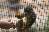 Squirrel monkey asking for a meal — Stockfoto