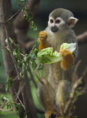 Squirrel monkey eating a lettuce leaf — Stok fotoğraf