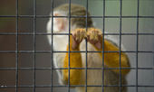 Squirrel monkey hands — Foto Stock