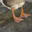 Goose Paws detail — Stockfoto