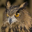 European Eagle-Owl 3 — Stock Photo