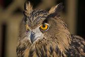 European Eagle-Owl 3 — Stock Photo