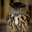 European Eagle-Owl 2 — Stock Photo