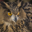 Stock Photo: EuropeEagle-Owl 4