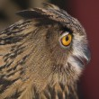 European Eagle-Owl — Stock Photo