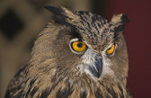European Eagle-Owl portrait — Stock Photo