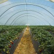 Strawberry cultivation in Huelva — Stock fotografie