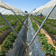 Strawberry greennhouses — ストック写真
