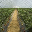 Stock Photo: Strawberry furrows