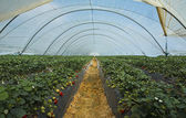 Strawberry cultivation in Huelva — Stockfoto